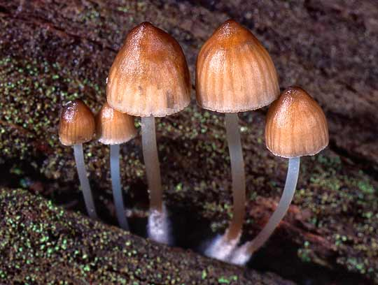 Mycena toadstool Photo Frank Copley