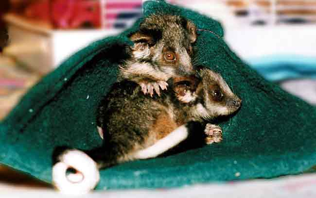 Twelve week old Ringtail possums